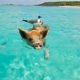 Pig and sea bird swimming in the ocean