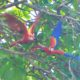 red-macaws-lapas-rojas