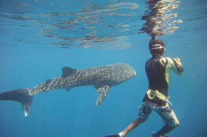 snorkeling whale shark
