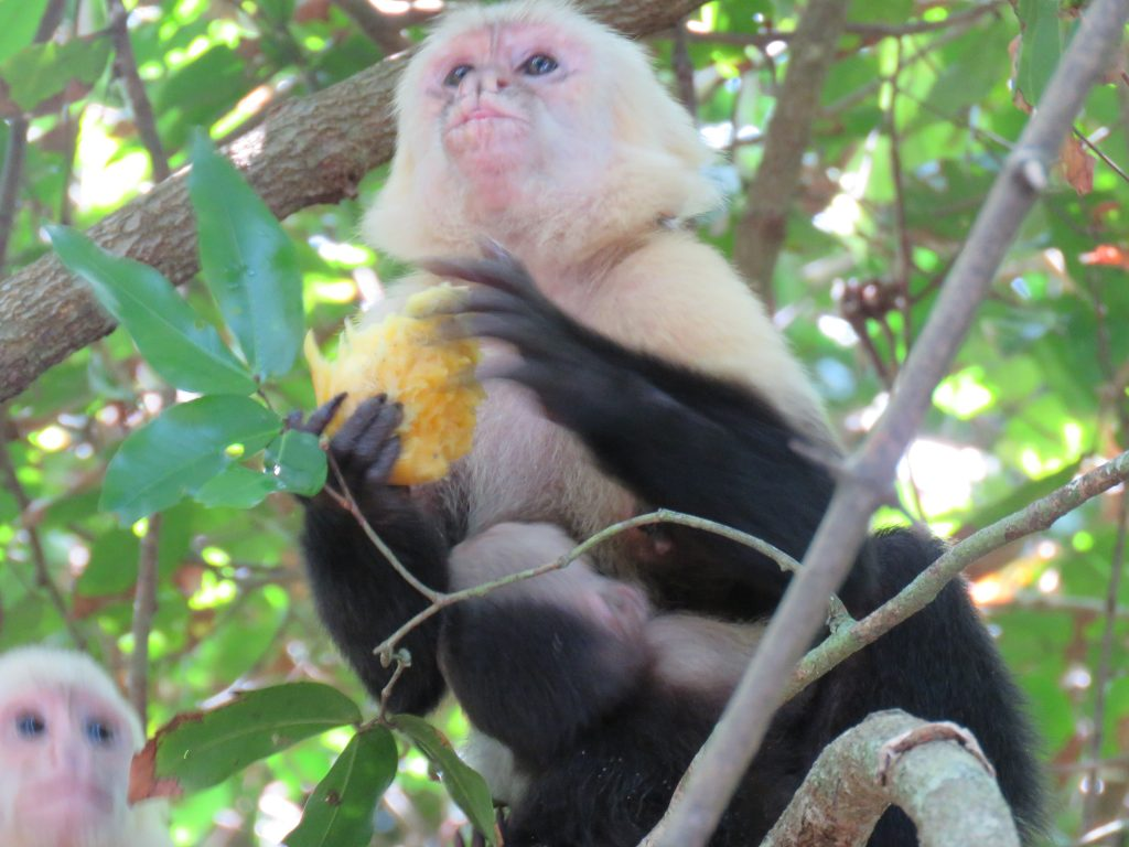 white-faced-monkey-ma-park
