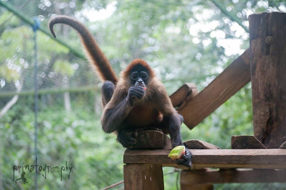 kstr-howler-monkey