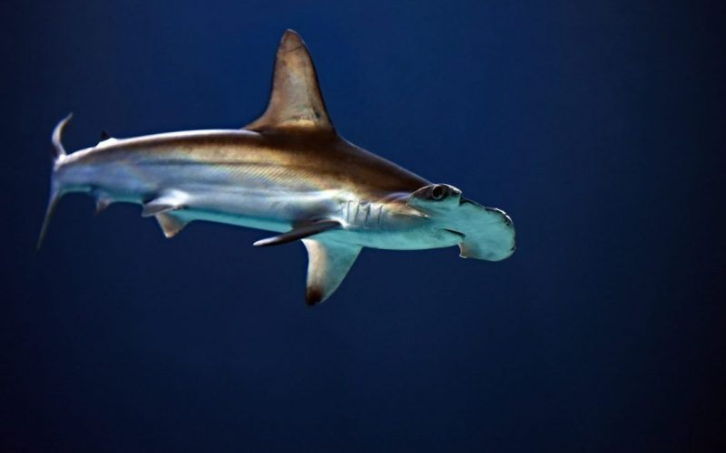 CREMA-hammerhead-shark