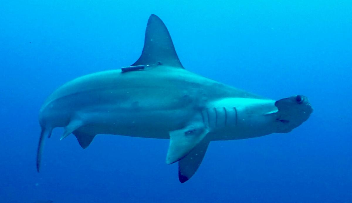 sharks-hammerhead
